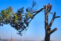 Best Cut  Tree Cutters/Climbing/Pruning/Insured