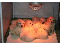 GOLDEN RETRIEVER PUPPIES URGENT SALE