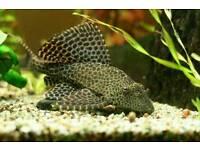 Sailfin pleco aquarium fish