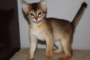 CHATONS ABYSSIN / ABYSSINIAN KITTENS