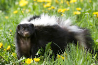 BEARS ( PEPE ) SKUNK REMOVAL & ALL PEST CONTROL