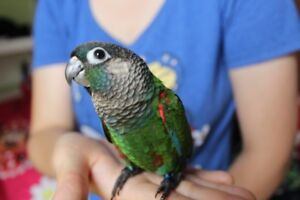 BABY PEARLY CONURES