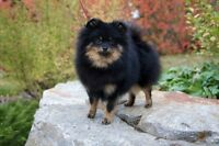 Female Pomeranian Puppy