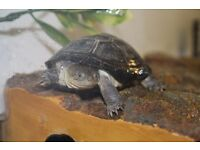 African Mud turtle and musk turtle with enclosure