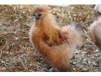 Golden Silkie chickens Broody reared and free ranging super fit chicks