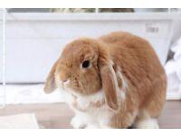 Female Mini-Lop Rabbit
