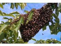 HONEY BEE Swarm of bees lost,found in your are free collection swarm in WOKING,GUILDFORD,SURREY area