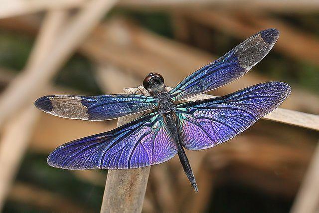 dragonflysandiego