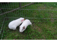 2 BOY WHITE GUINEA PIGS WITH SMALL BROWN PATCHES.
