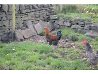5 Laying chickens for sale