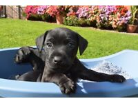 Smooth coated Patterdales puppies for sale