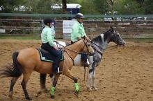 Buckskin Stock Horse Gelding Bairnsdale East Gippsland Preview