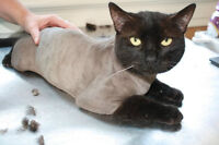 Full Service Cat and Pocket Pet Grooming!! Westmount area!
