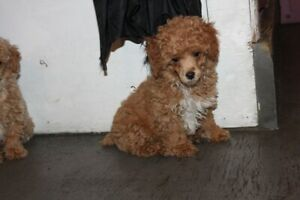 BEAUTIFUL FEMALE TOY POODLE X PUPPY