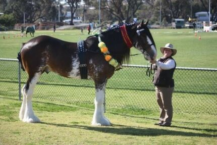 Clydesdale Colt For Sale