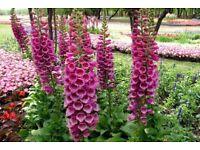 Foxgloves flowers plants 80p each