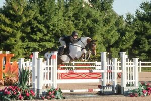 Warmblood stallion available for stud