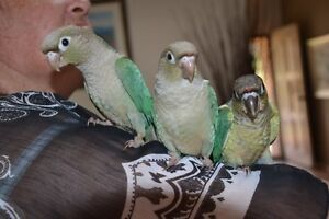 HANDRAISED BLUE, SILVER AND GREENCHEEK CONURES - DNA AVAILABLE Merrimac Gold Coast City Preview