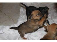 Minature Pinscher x Jack Russell Puppies
