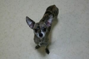 female Chihuahua lost or taken
