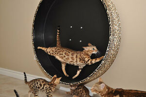 Roues d'exercice pour chats / Exercise wheels for cats!