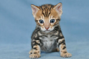 Stunning Bengal kitten available (male) ♥ ♥ ♥