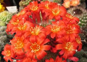 Rebutia-minuscula-exotic-flowering-rare-clustering-cactus-flower-seed-100-SEEDS
