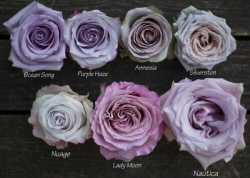 Fresh Cut Lavender Roses 100 stems / Grower Direct / Quality Guaranteed