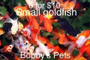 Goldfish Cabramatta West Fairfield Area Preview