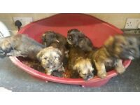 border terrier x shih Tzu puppies