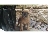 French Blue, Fawn Bulldog. Registered and Insured - ONLY TO GOOD HOME