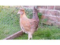 Pair of Cream Legbar Hens for sale POL