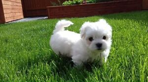 Wanted!! Small non-shedding Dog/puppy!!!