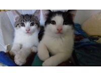 2 kittens for sale 9 weeks old