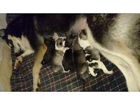 Beautiful Siberian husky pups