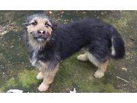 Husky/Alsatian Female dog for sale £250