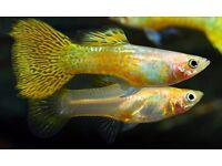 BLONDE YELLOW SNAKESKIN ENDLER'S GUPPY FISH (females also available)