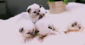 3 Ragdoll Kittens Available