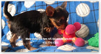 ***************2 CHIOTS YORKSHIRES  MALES *******************