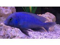 Malawi cichlid -Moorii dolphin , fire fish