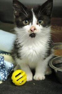 """Young Female Cat - Domestic Short Hair-black and white: """"Gibby"""""""