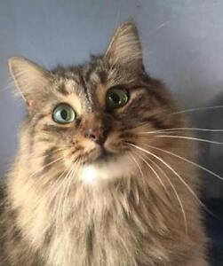 "Adult Female Cat - Domestic Long Hair - brown-Tabby: ""Dazzle"""