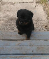 PUREBRED MALE ROTTWEILER PUP- PICK OF THE LITTER
