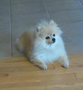 "Senior Female Dog - Pomeranian: ""Layla & Peppy"""
