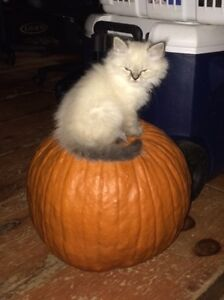 Male Ragdoll/himalayan kittens for Sale