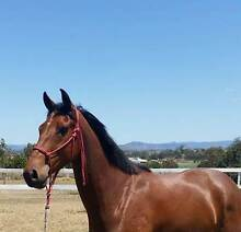 Quiet Young Gelding Toowoomba 4350 Toowoomba City Preview