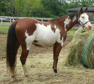 2008 APHA mare