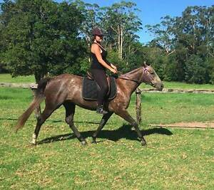 GREY TB GELDING Ourimbah Wyong Area Preview