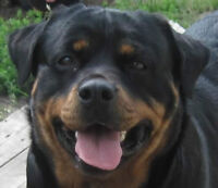 CKC Registered Rotti female with breeding rights