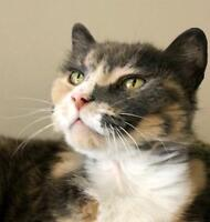 "Adult Female Cat - Domestic Short Hair-Dilute Calico: ""Glinda"""